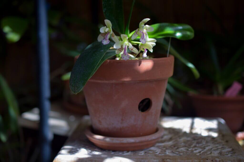 phalaenopsis japonica