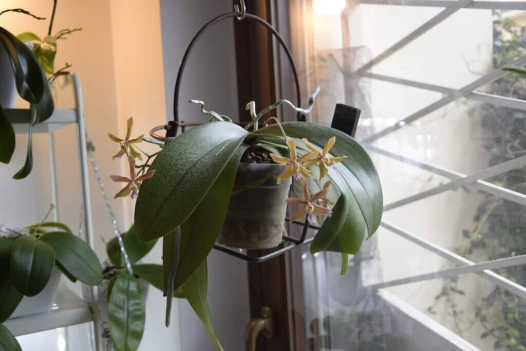 una orchidea phalaenopsis bronze maiden
