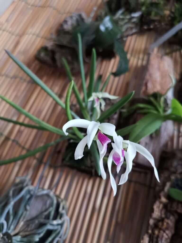 leptotes bicolor fioritura 2020