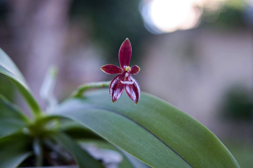 fiore singolo della phalaenopsis cornu cervi chattalade