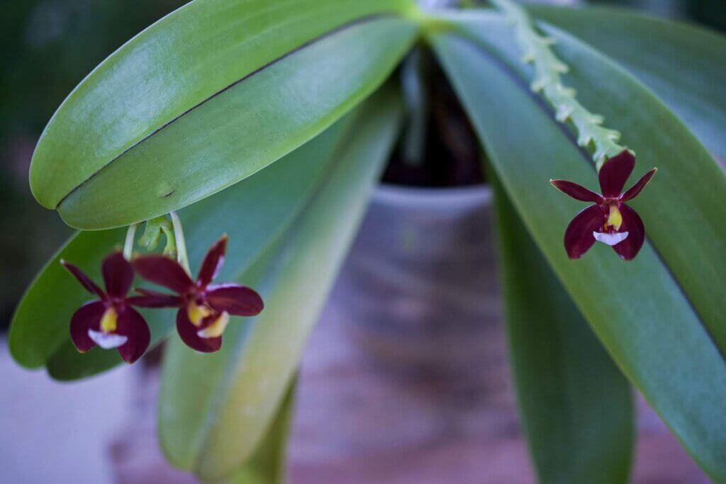 phalaenopsis cornu cervi var chattalade con una riga rossa centrale sulla foglia
