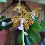 sedirea japonica x vandopsis parishii registrata come phal little one