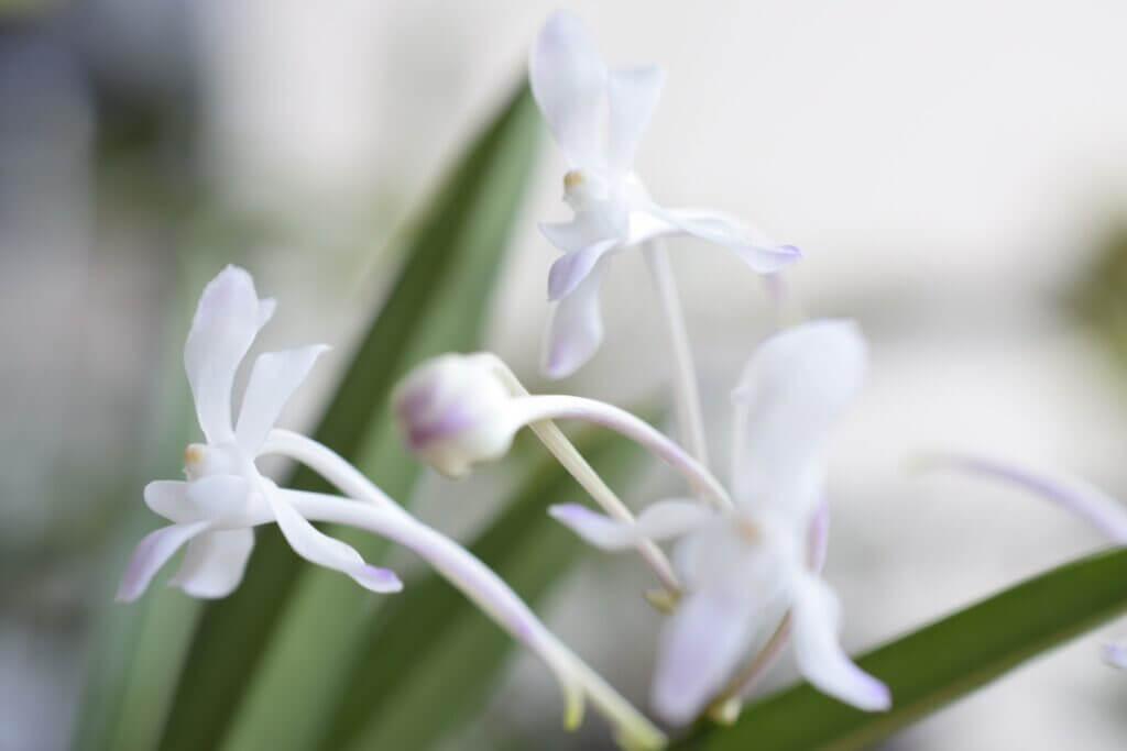 il fiore della vanda falcata