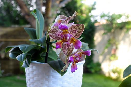 phalaenopsis joy fairy tale