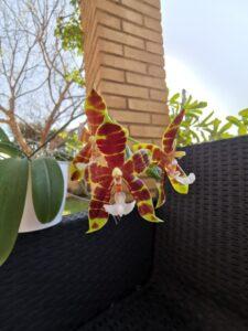 Phalaenopsis Pantherina x Amboinensis