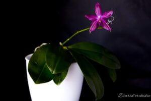 Phalaenopsis Germaine Vincent (violacea x speciosa)