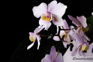 Phalaenopsis Philadelphia (Shilleriana x Stuartiana)
