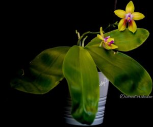 Phalaenopsis Zheng Min Vine