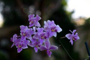 Phalaenopsis x Veichtiana (equestris x schilleriana)