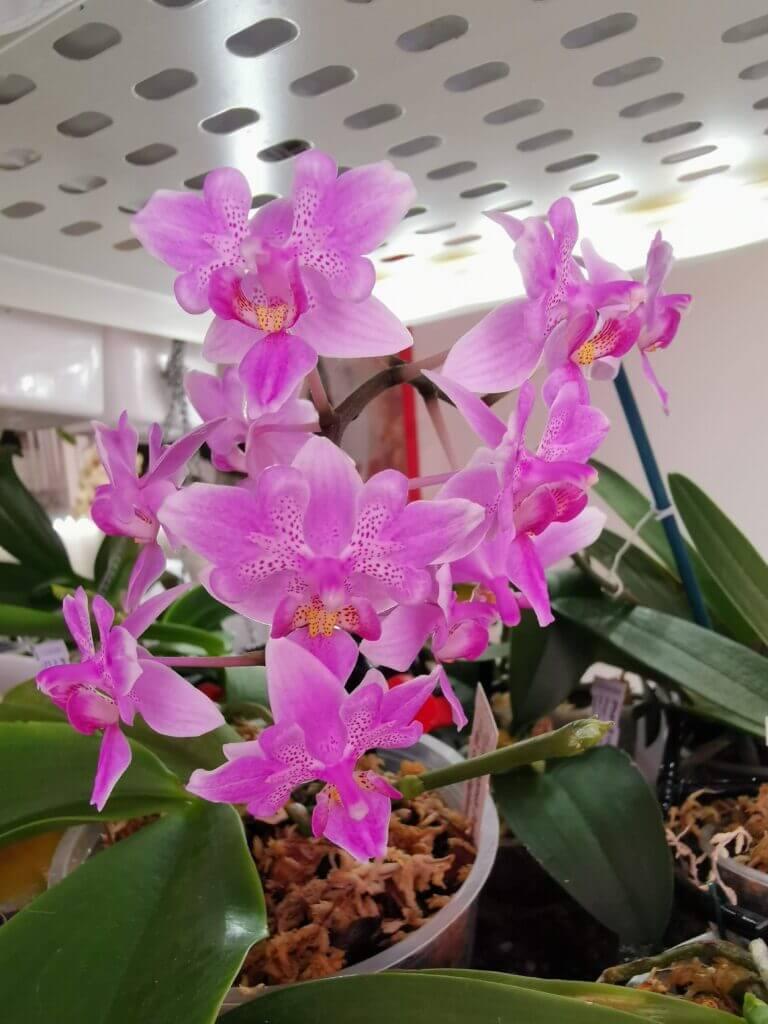 phalaenopsis veichtiana