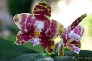 Phalaenopsis Hannover Passion