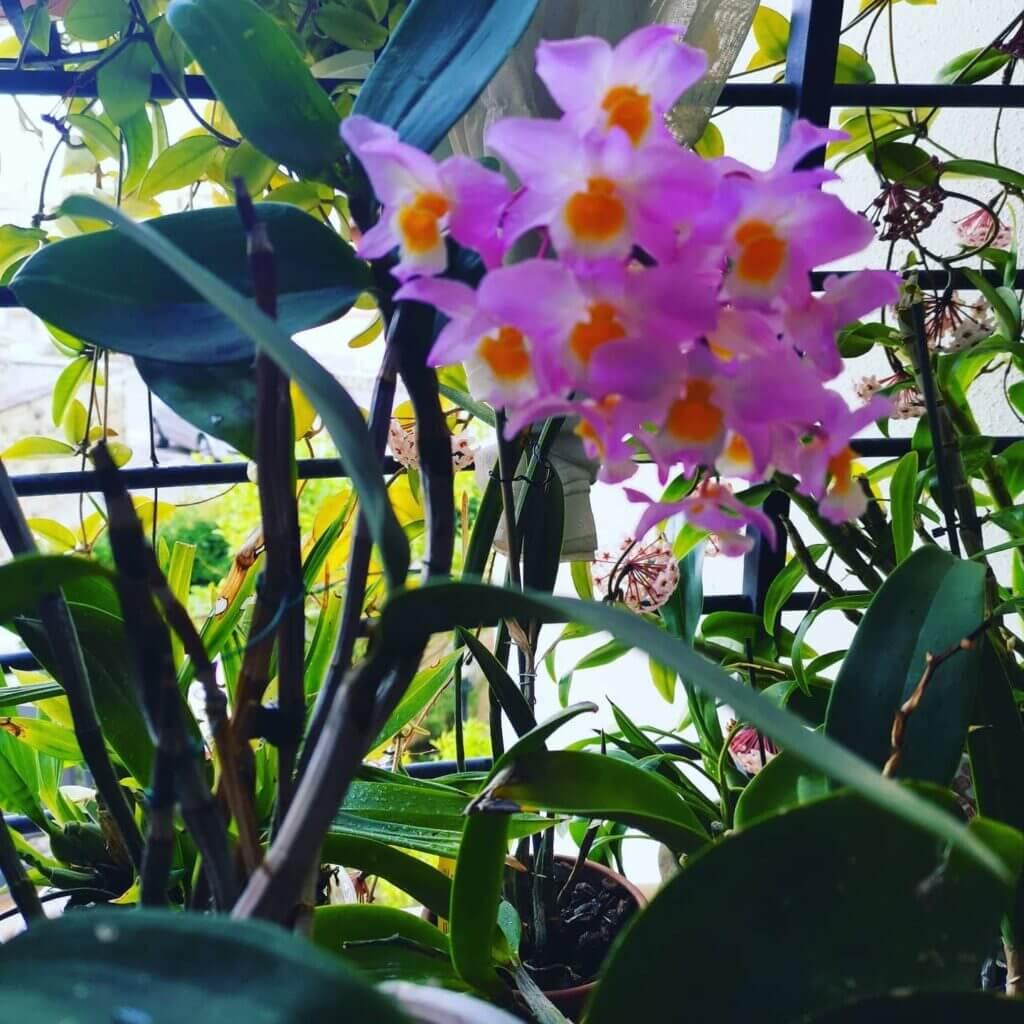 dendrobium amabile fiorito