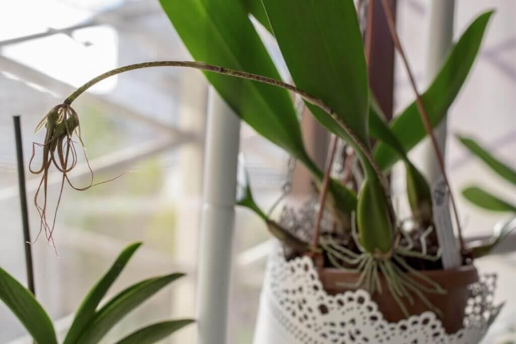 Bulbophyllum Elizabeth