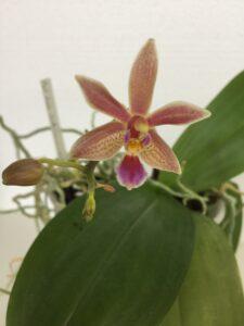 phalaenopsis linda cheock (mannii x equestris