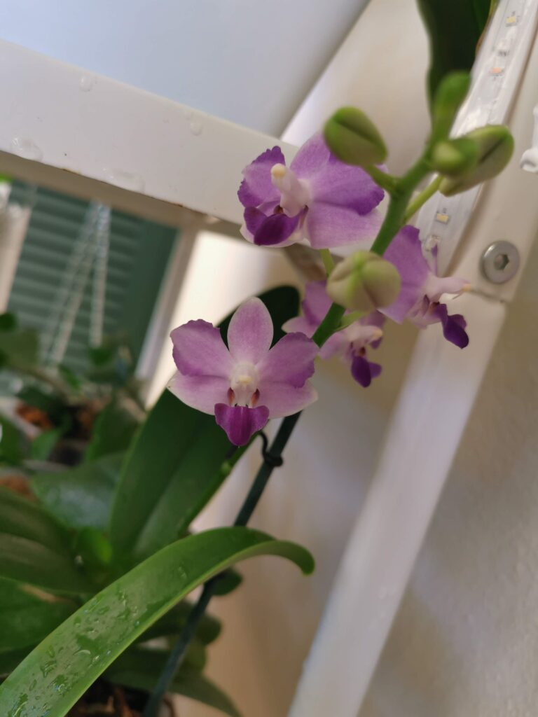phalaenopsis tying shin blue jay peloric
