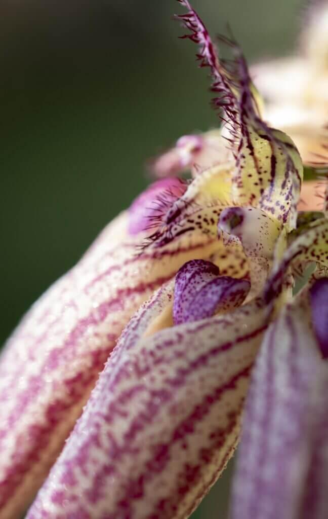 close up bulbophyllum