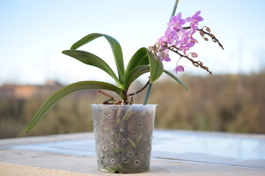 come coltivare phalaenopsis