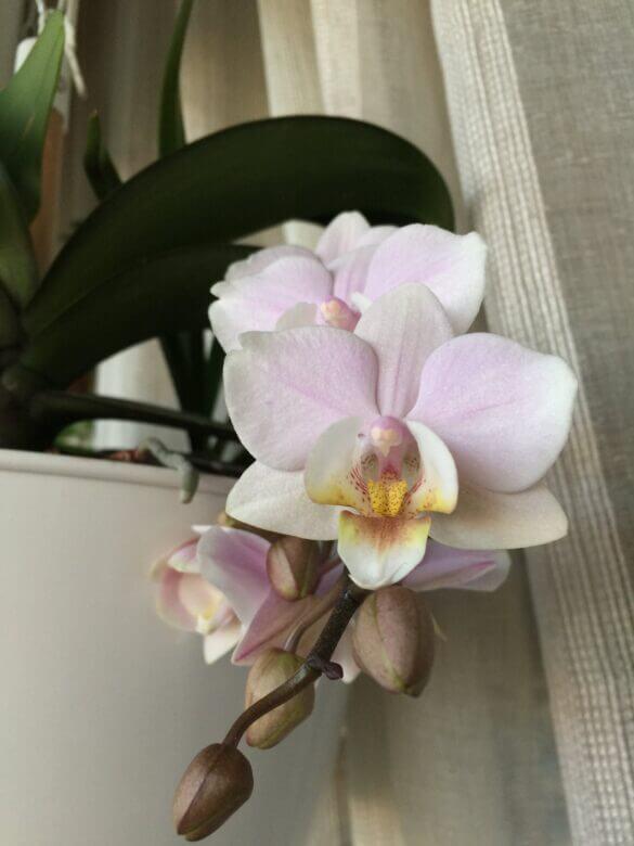 quando annaffiare le orchidee