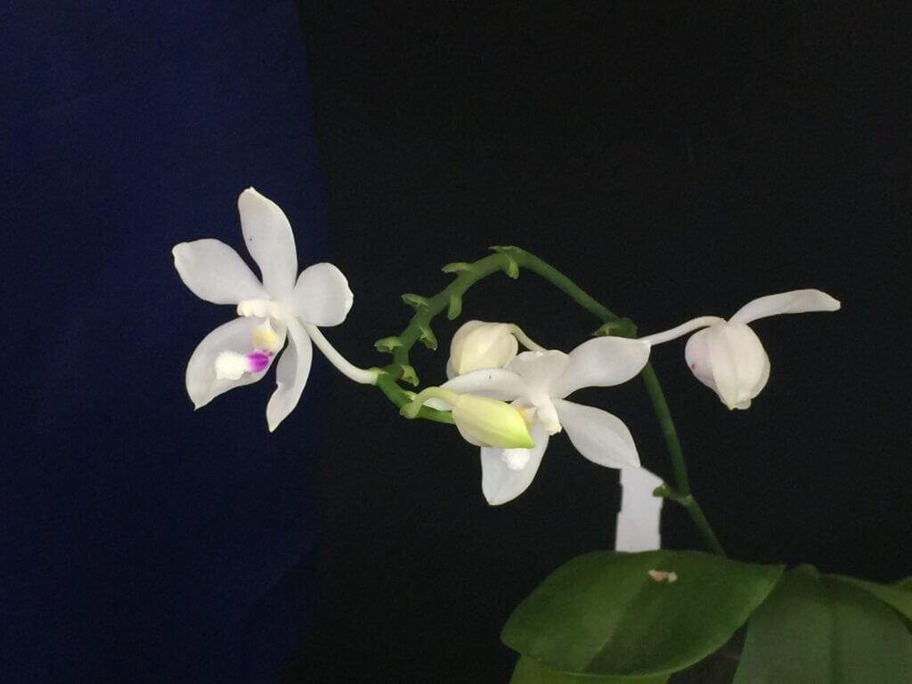 come annaffiare le phalaenopsis